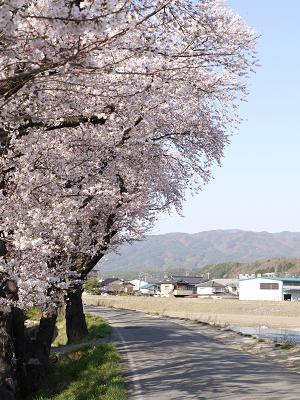 天竜河畔の桜