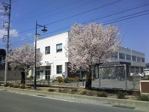 営林署の桜